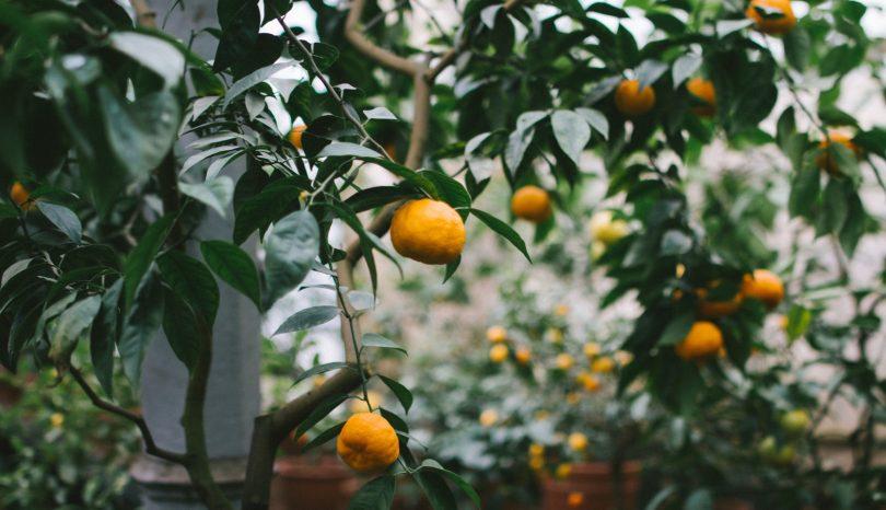 As árvores frutíferas e a conexão entre a natureza e a cidade