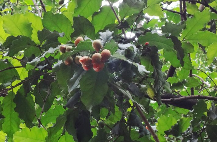 Caferana: a fruta que tem gosto de manteiga de amendoim
